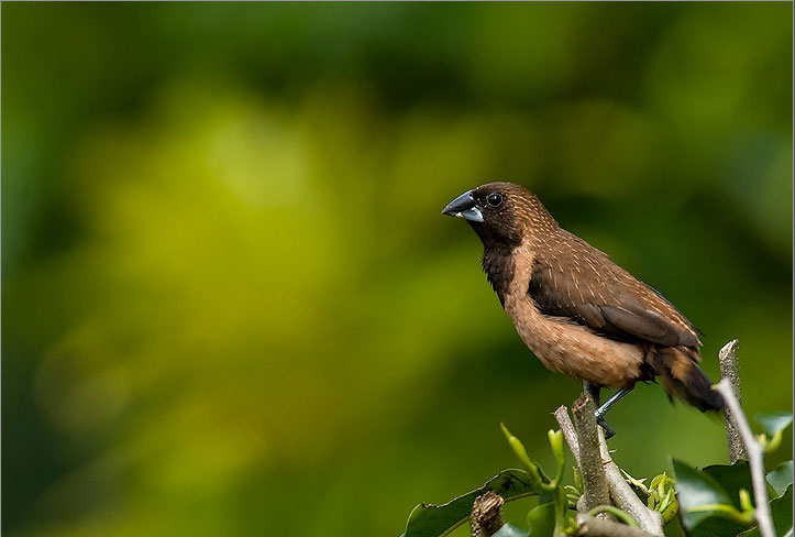 Black Throated Munia