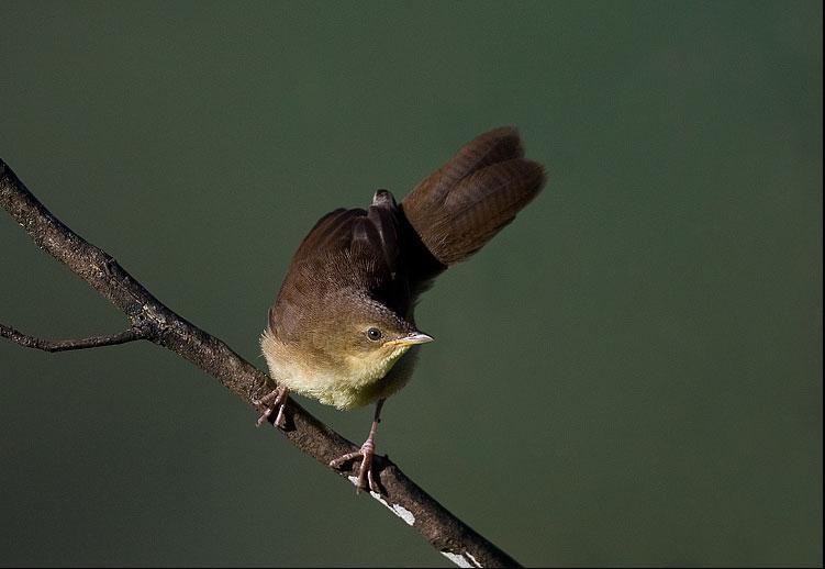 Broad Tailed Grassbird