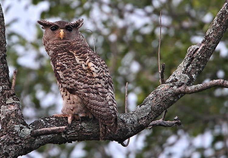 Forest Eagle Owl