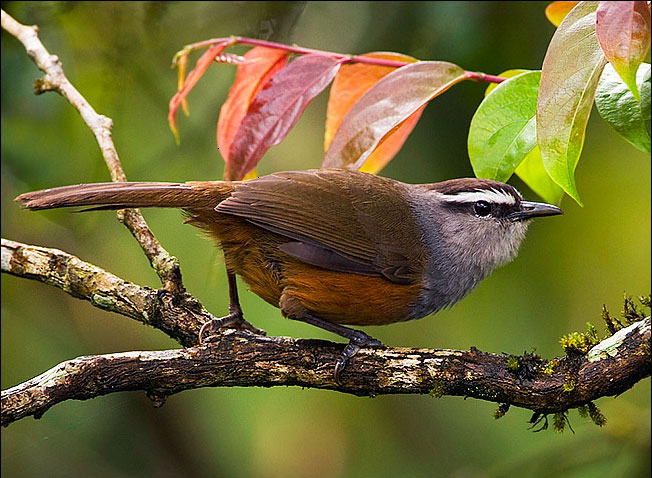 Grey Breasted Laughing Thrush